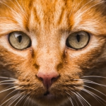 Jak správně krmit kastrovanou kočku