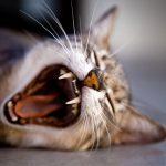 Když musíte nechat kočku doma – hotel nebo kočičí chůva?