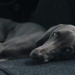 Nové informace  – COVID-19 a domácí zvířata
